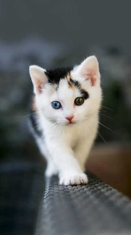 Odd Eyed Kitten