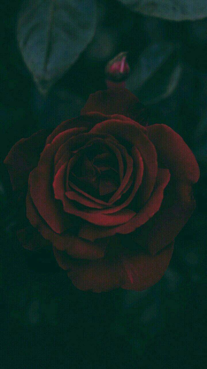 Red Rose in the Dark