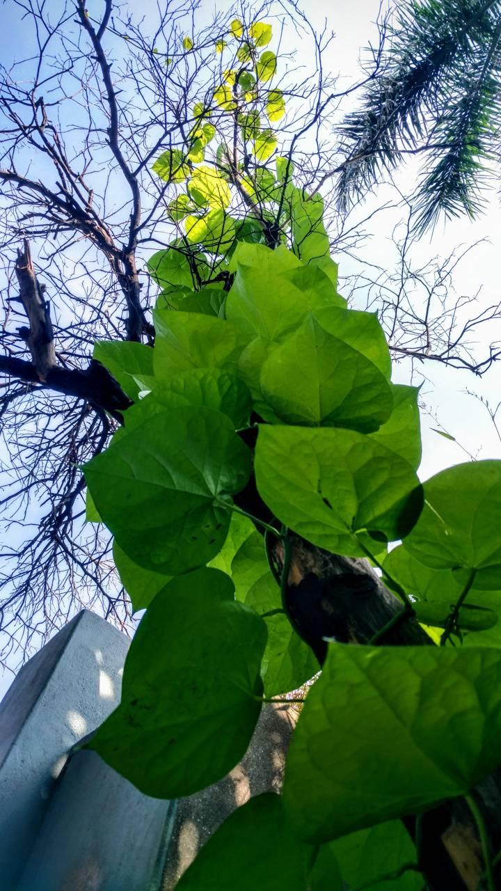 vine plant beauty