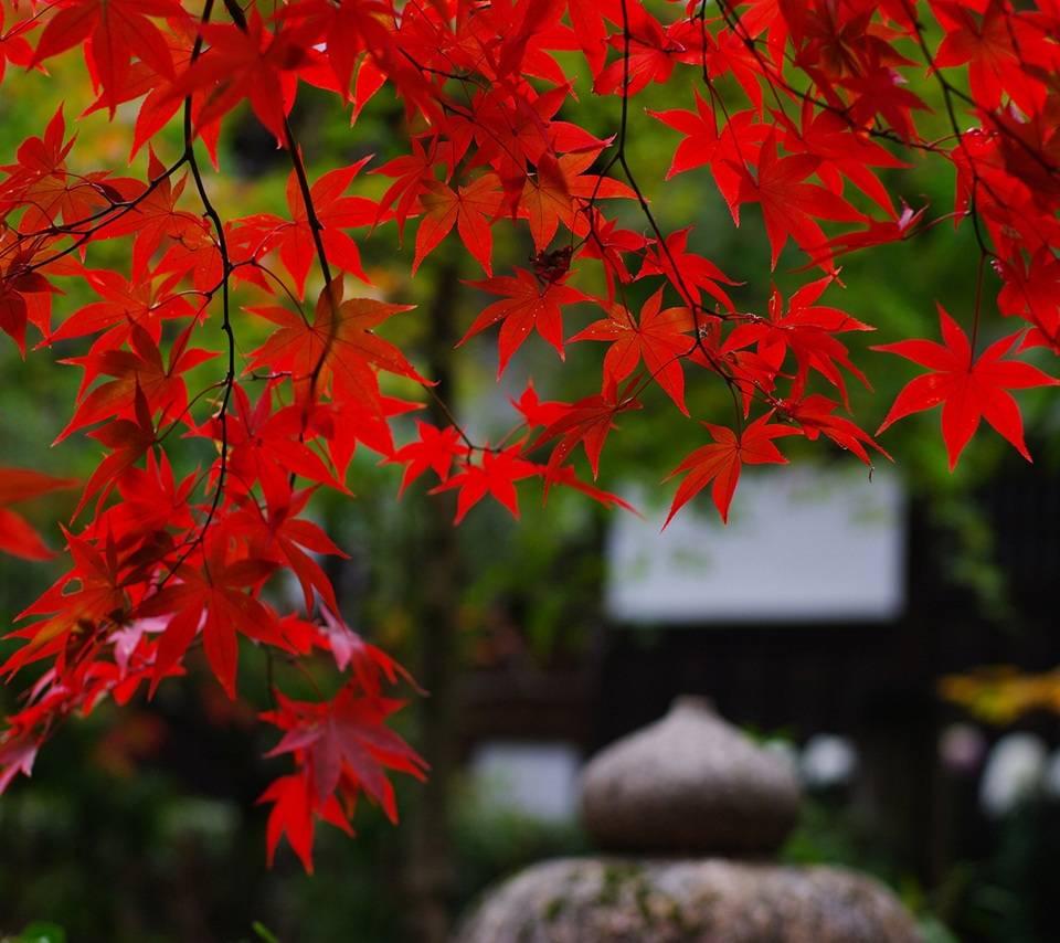Hd Maple Tree Wallpaper By Julianna 20 Free On Zedge
