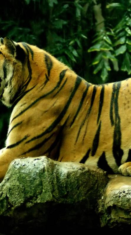 Tiger hd Wallpapers - Free by ZEDGE™