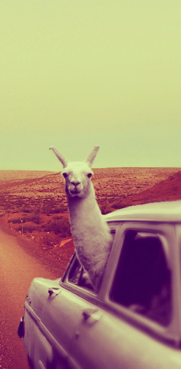 Cruizen Llama