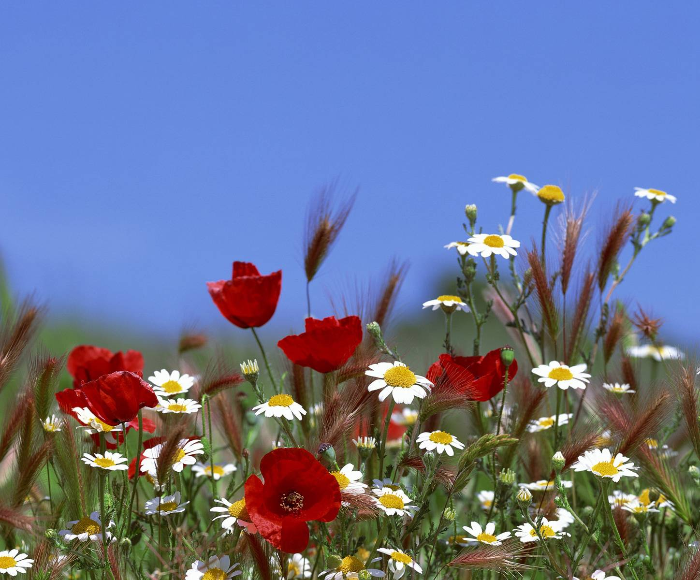 Марта, полевые цветы красивые картинки анимации