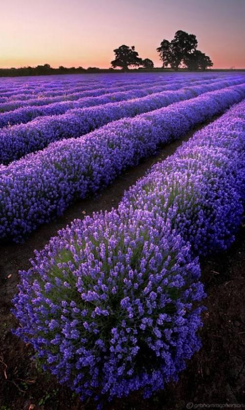 Purple Fields Hd