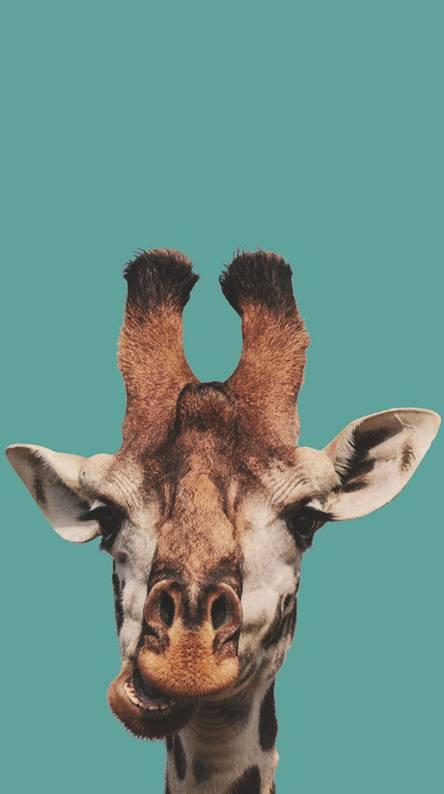 Giraffe Wallpapers Free By Zedge