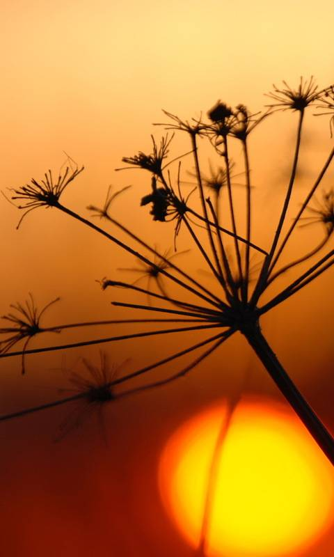 Dill At Sunset