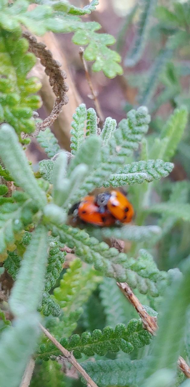 Ladybugs in lavender