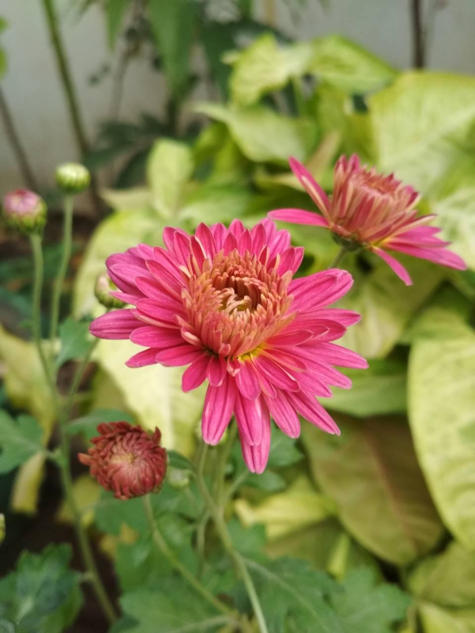 Oshaf garden flower