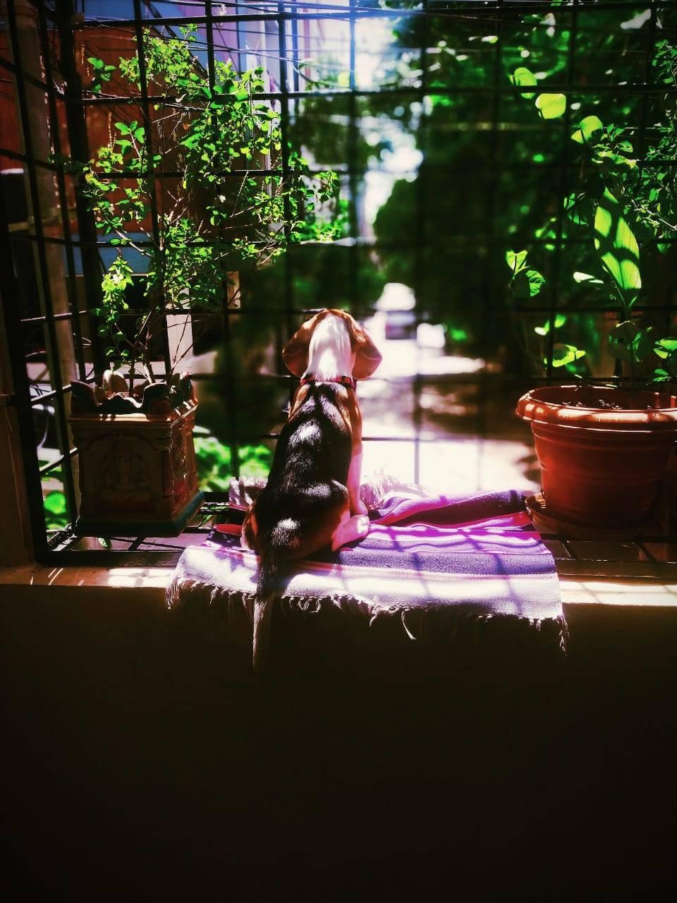 Beagle enjoying l