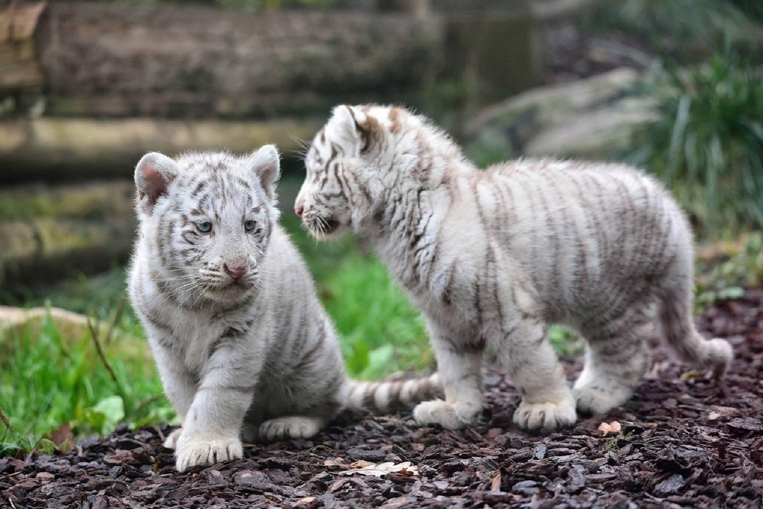 Gossip Kittys