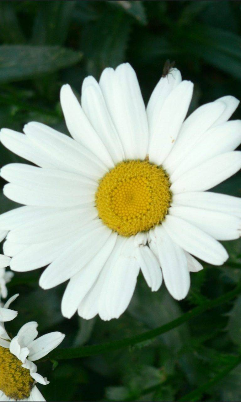 A Daisy For You