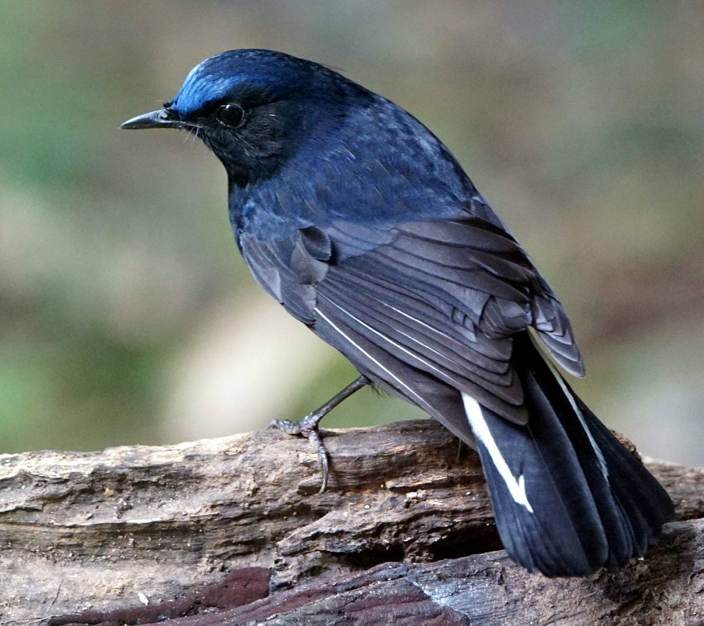 White Tailed Robin
