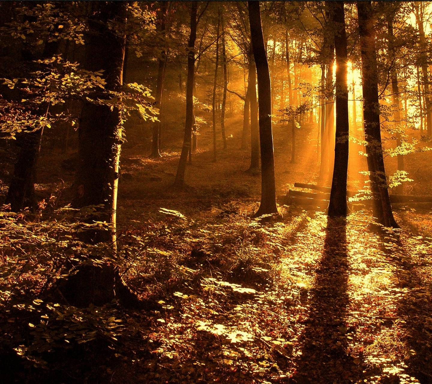 Sun Ray In Forest