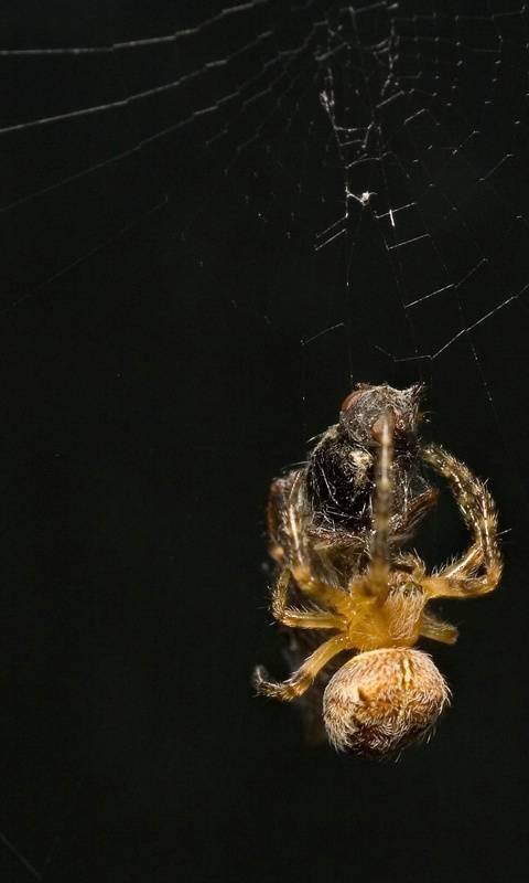 Spider Hd