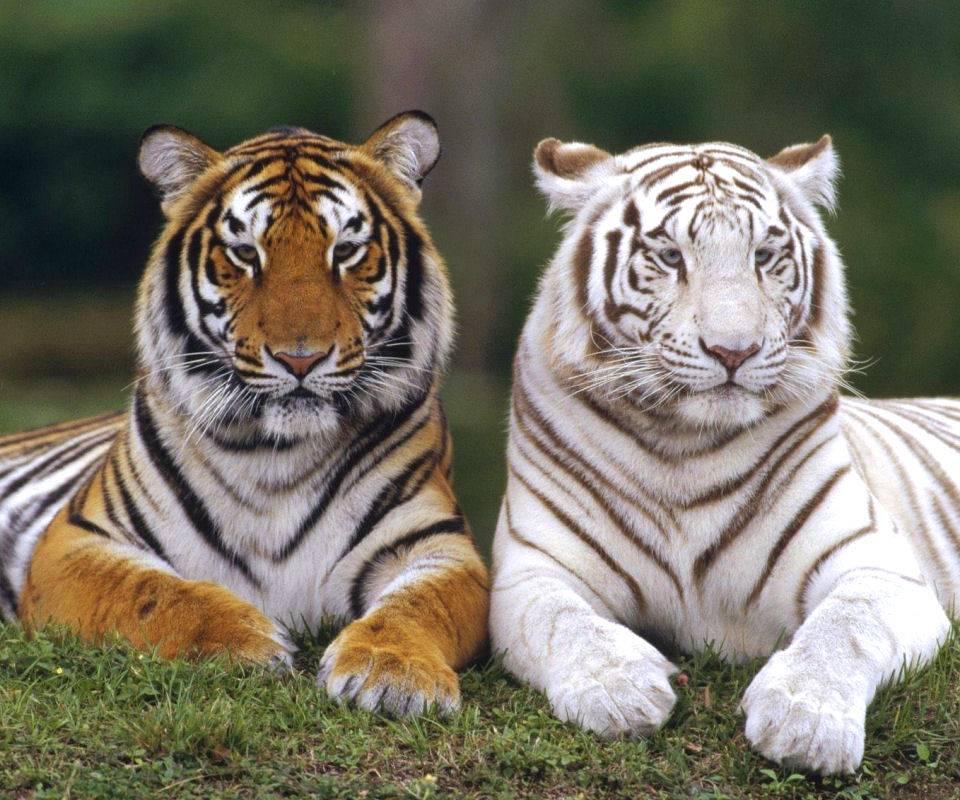 Tiger Harmony