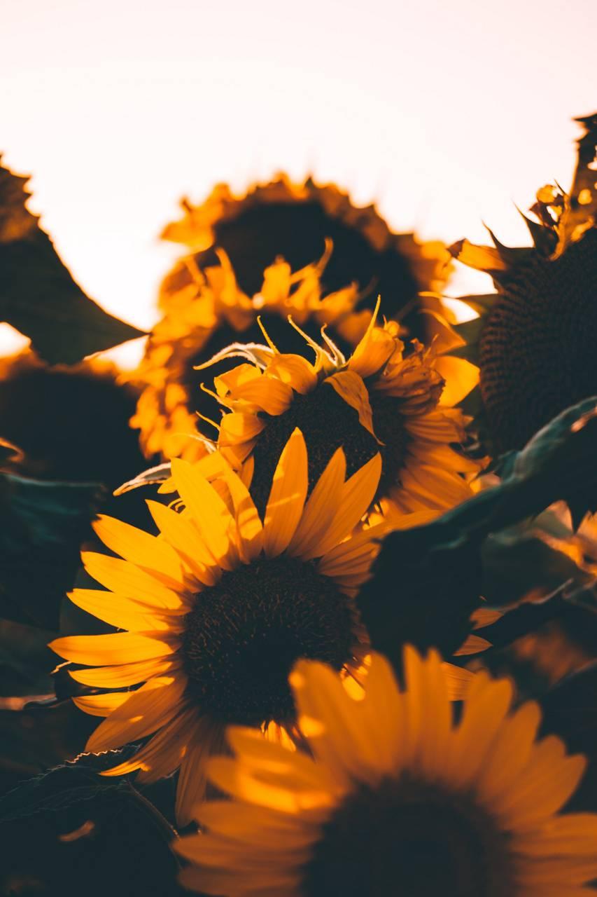Sunflower wallpaper by Xerishya - cc ...