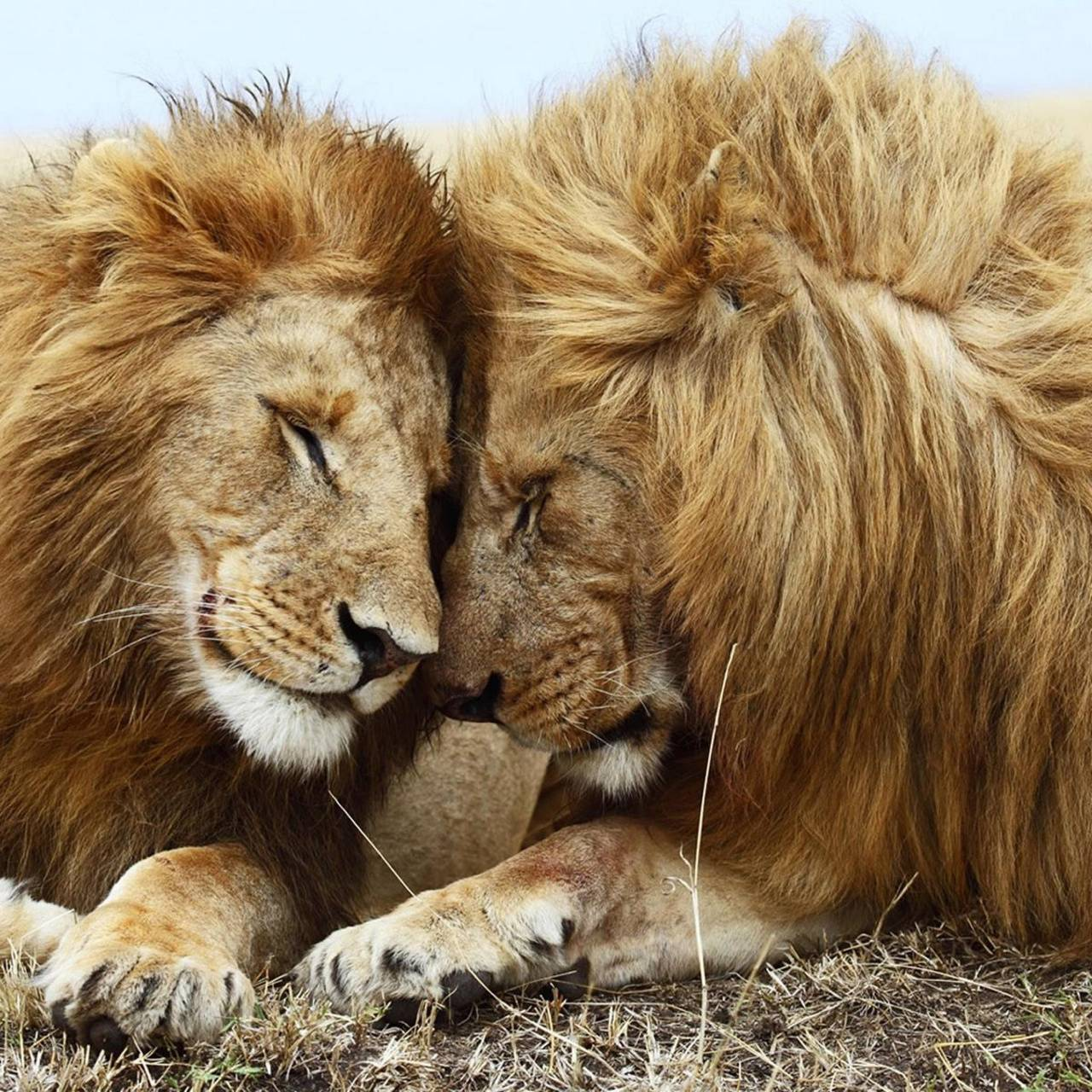 Lovely Lion Pair