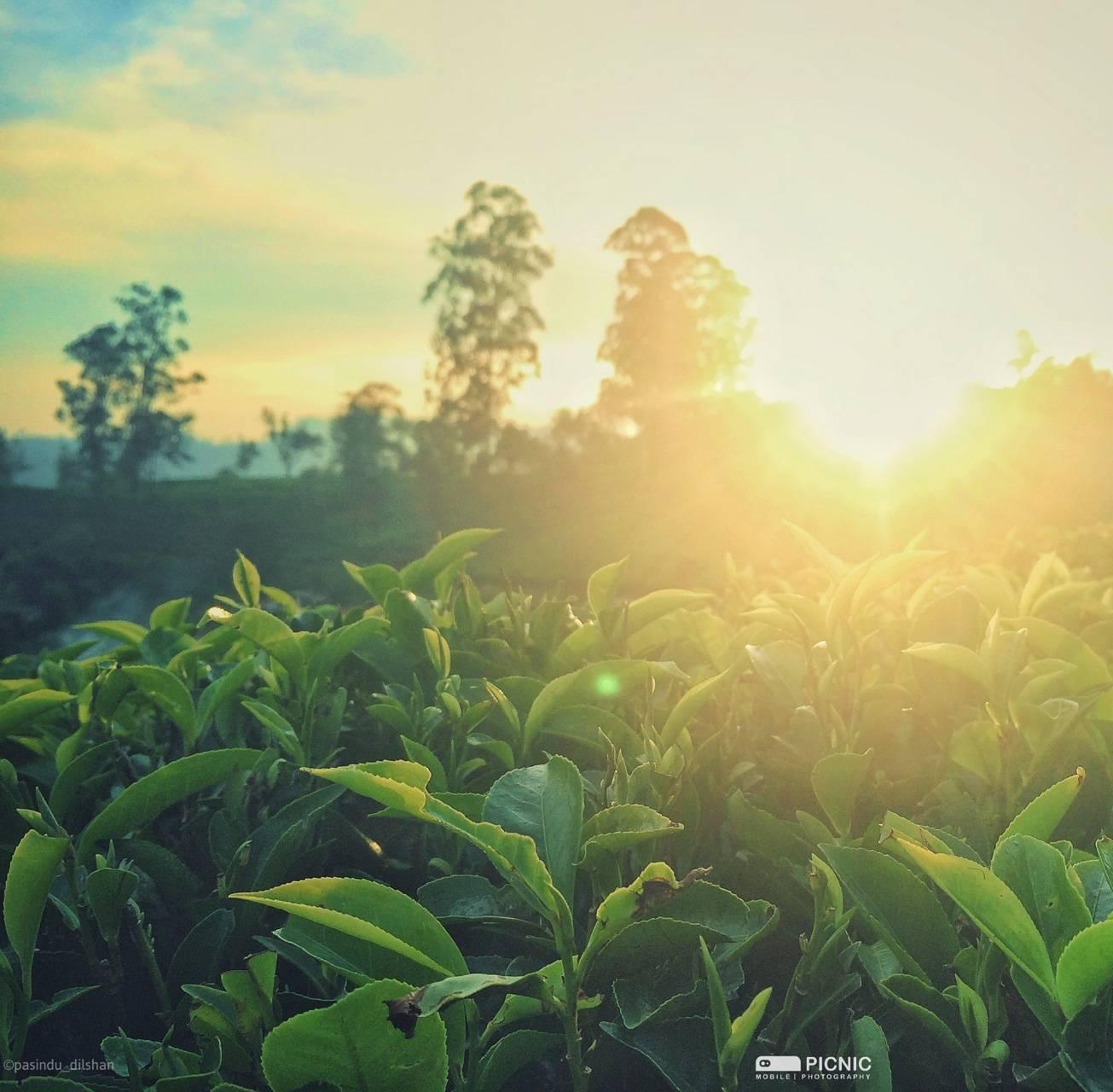 tea state