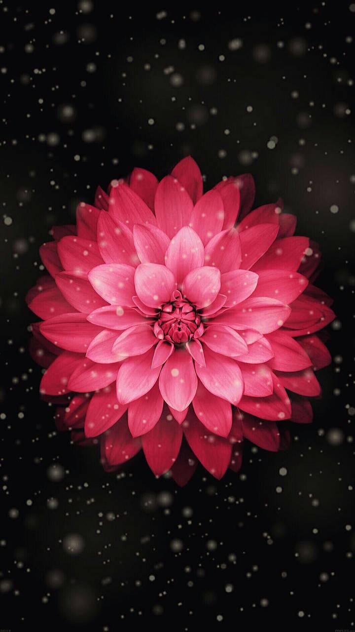 Red Dahlia Flower Wallpaper By Georgekev F5 Free On Zedge