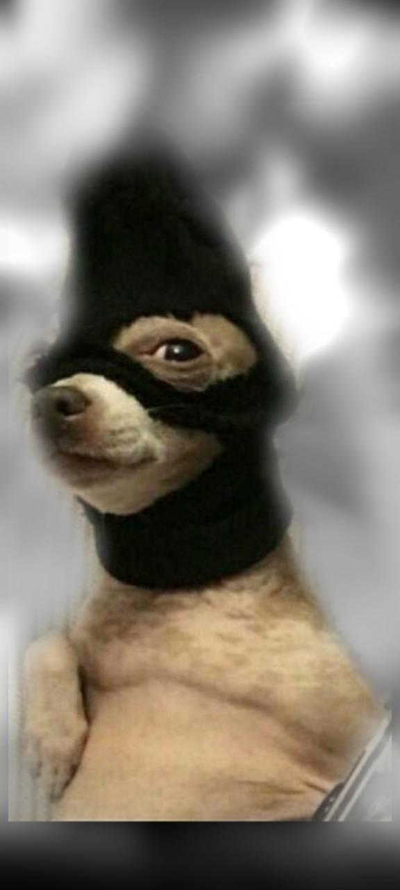 Thief dog