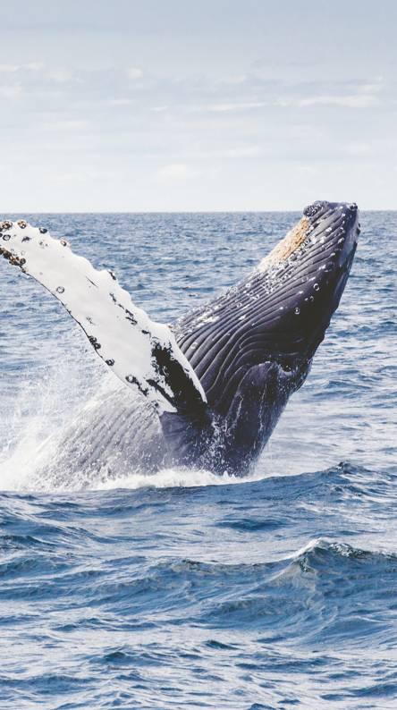 ringtone blue whale