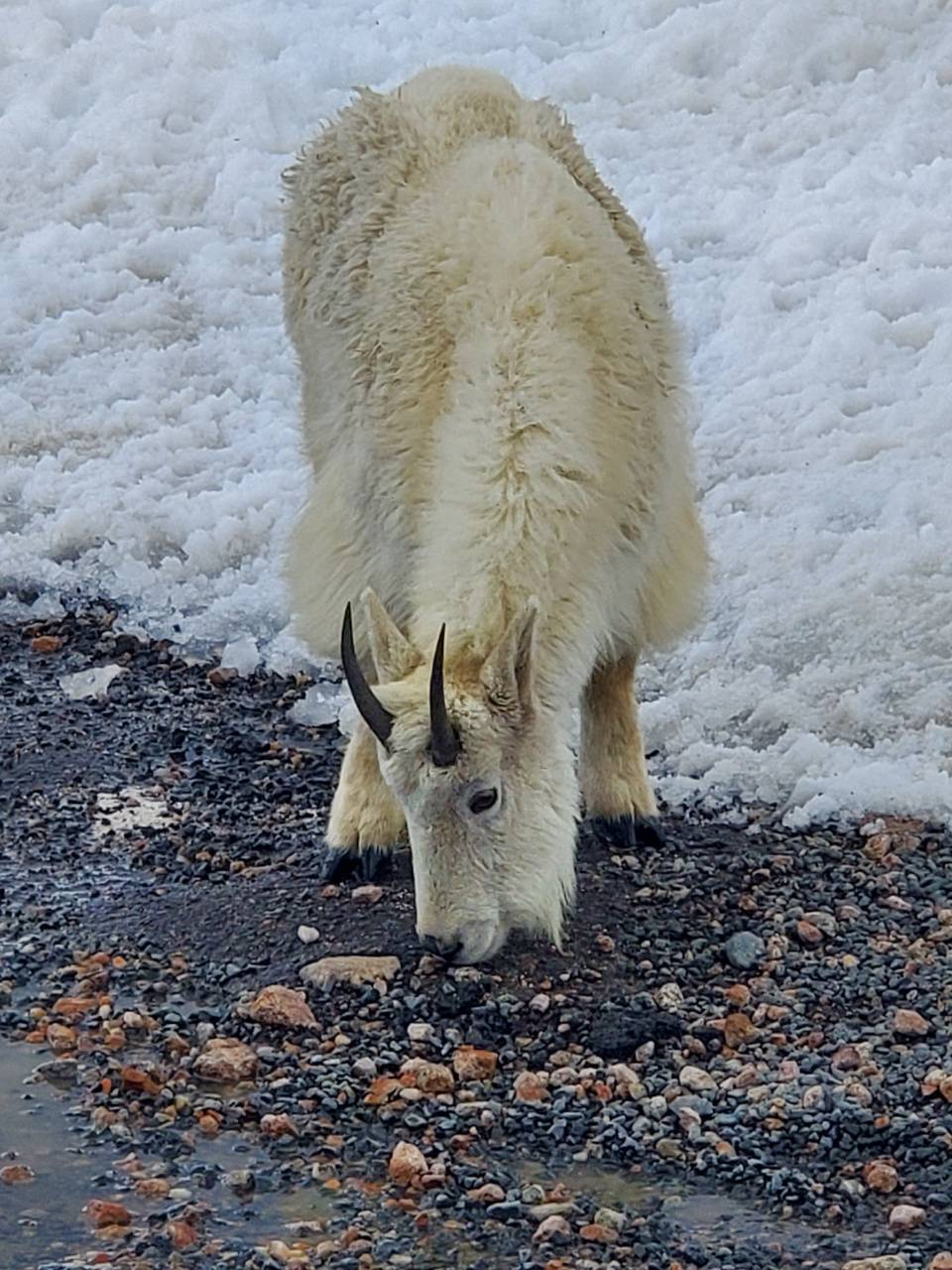 Colorado mt goat