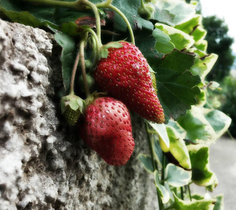 Strawberries nature