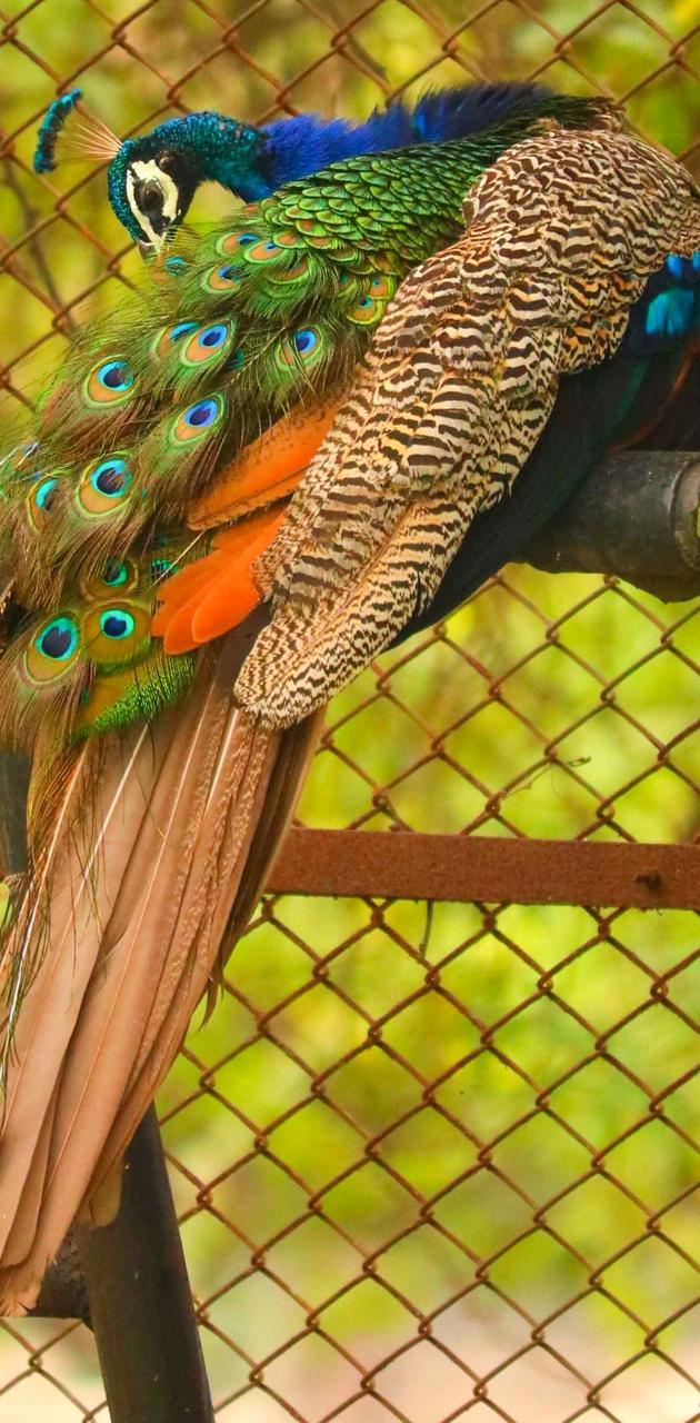 Peacock by Sahil
