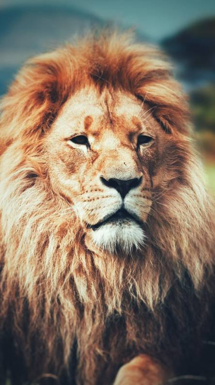 Lion Hd Wallpapers Free By Zedge