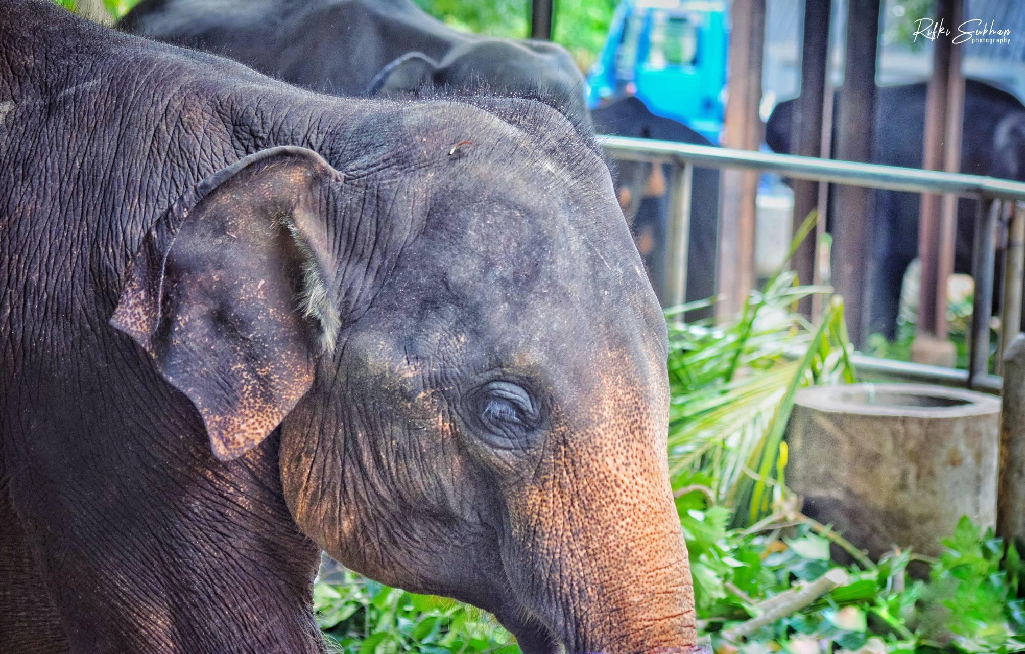 Elephant Srilanka