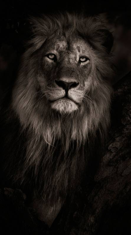 Lion Wallpapers - Free by ZEDGE™