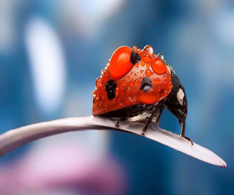 Ladybug dew drops