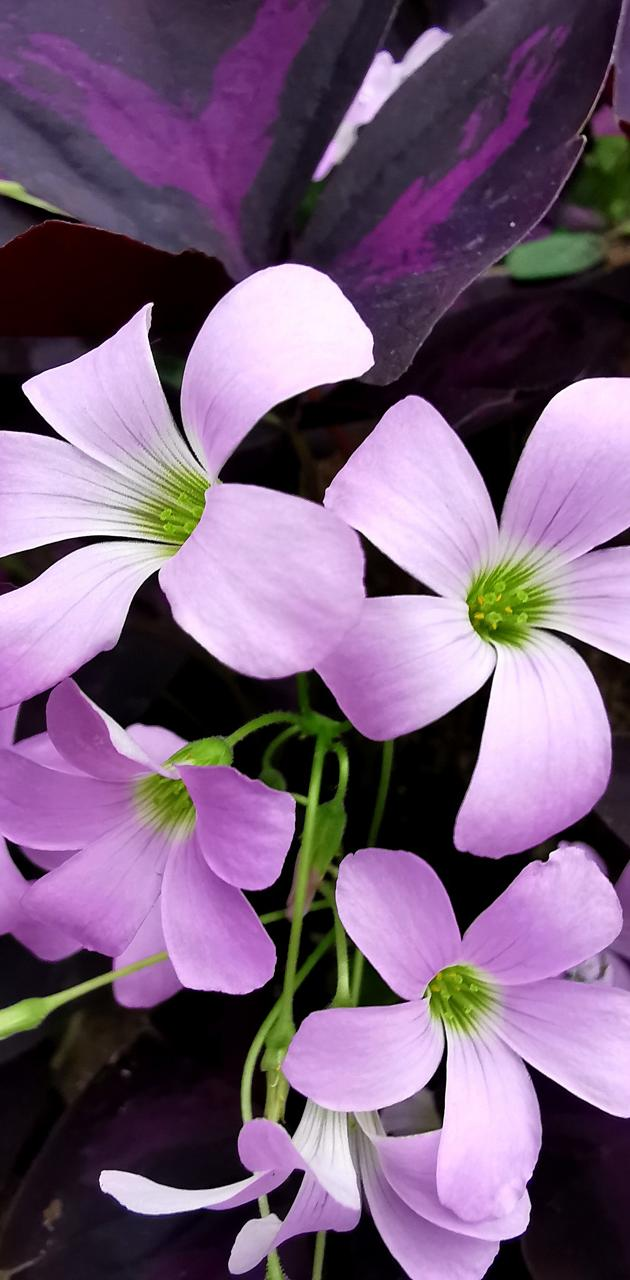 Purpur Flower