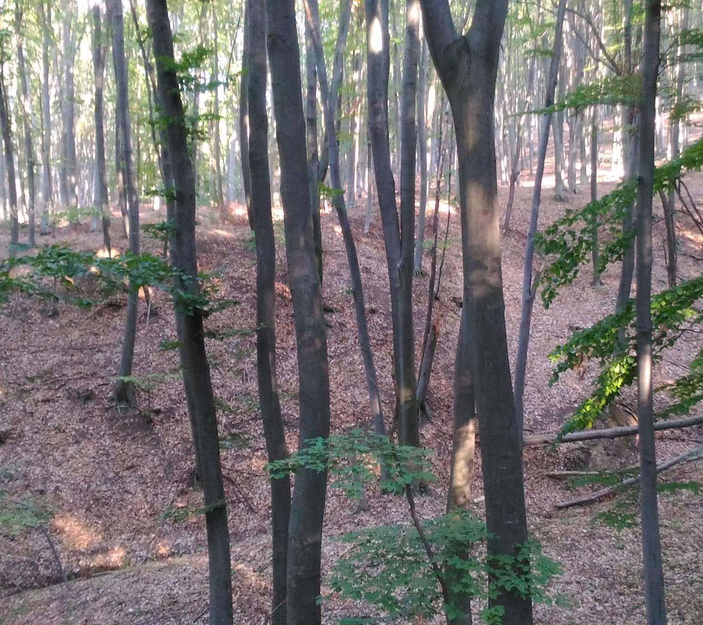 Forest bradi