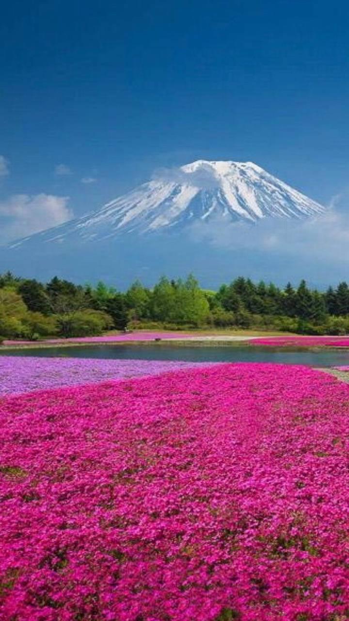 Flowers below fuji