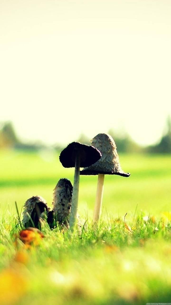 mushroom hd