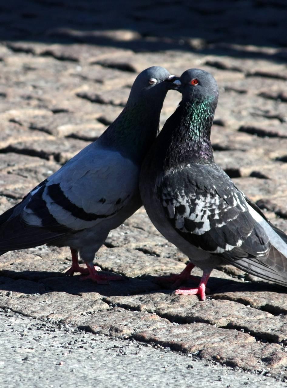 pigeons love wallpapercenaforme - db - free on zedge™