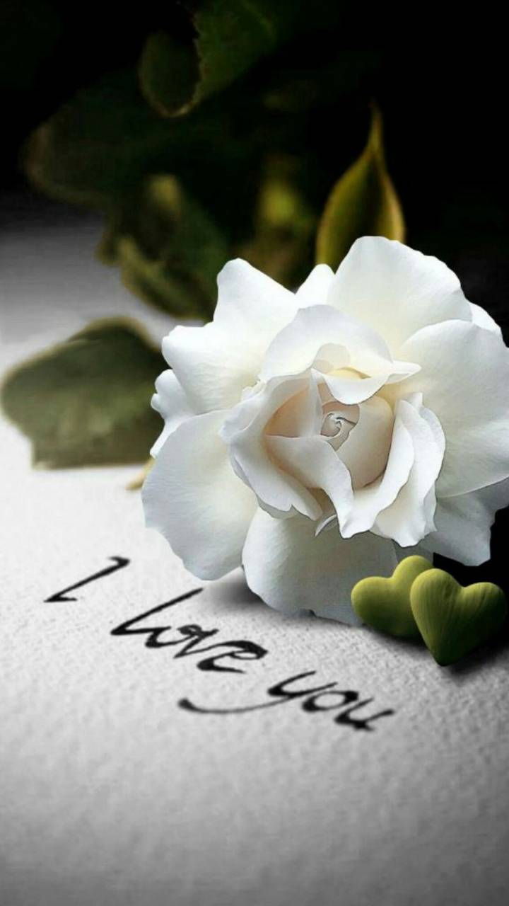 White Rose Wallpaper By Georgekev 43 Free On Zedge