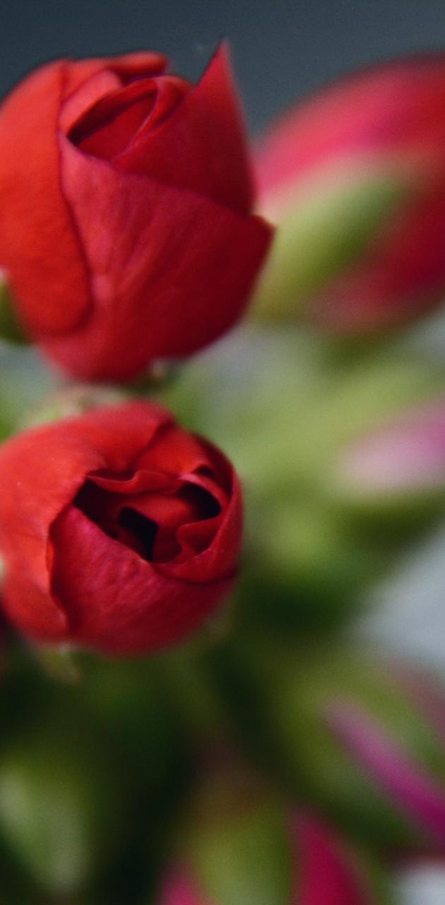 Blurred roses