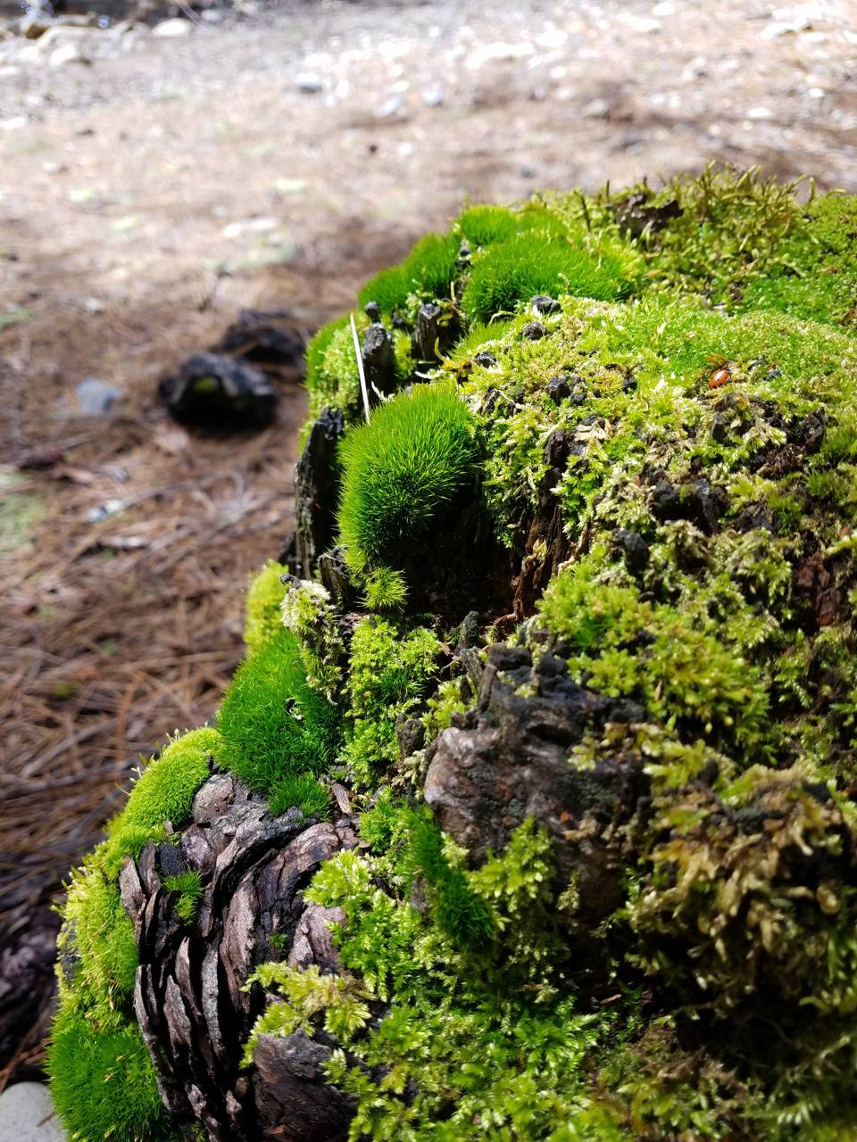 Ladybug moss