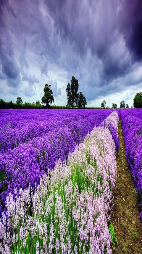 Purple Lavender fld