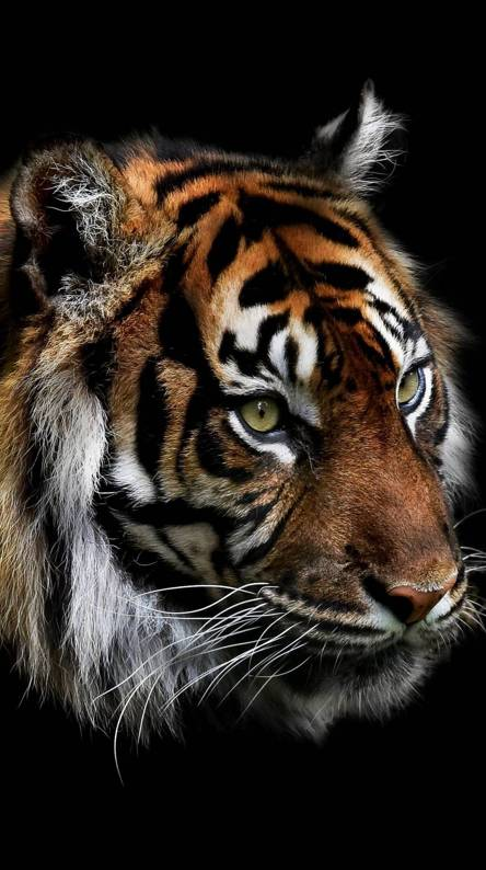Tigre Wallpapers - Free by ZEDGE™