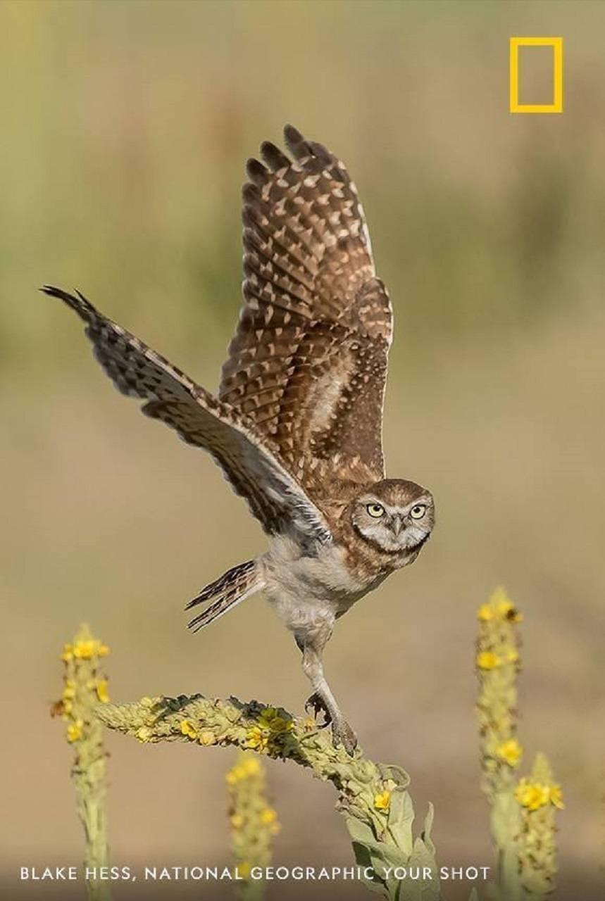 The Owl in Flight