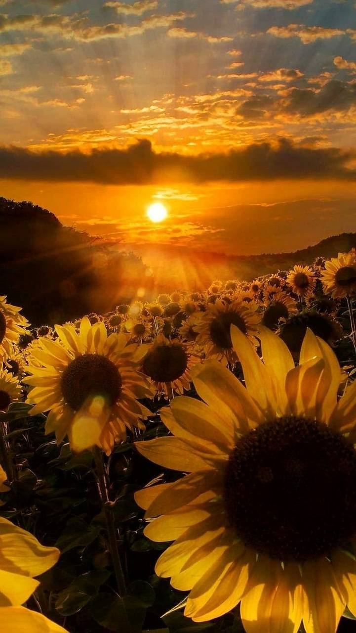 Sunflowers wallpaper by Indiana1234 - 3b - Free on ZEDGE™