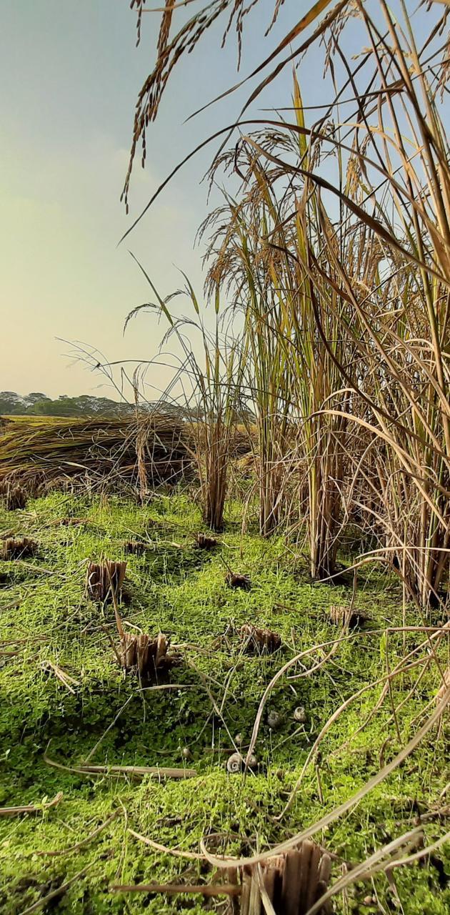 Cutted wheatgrass