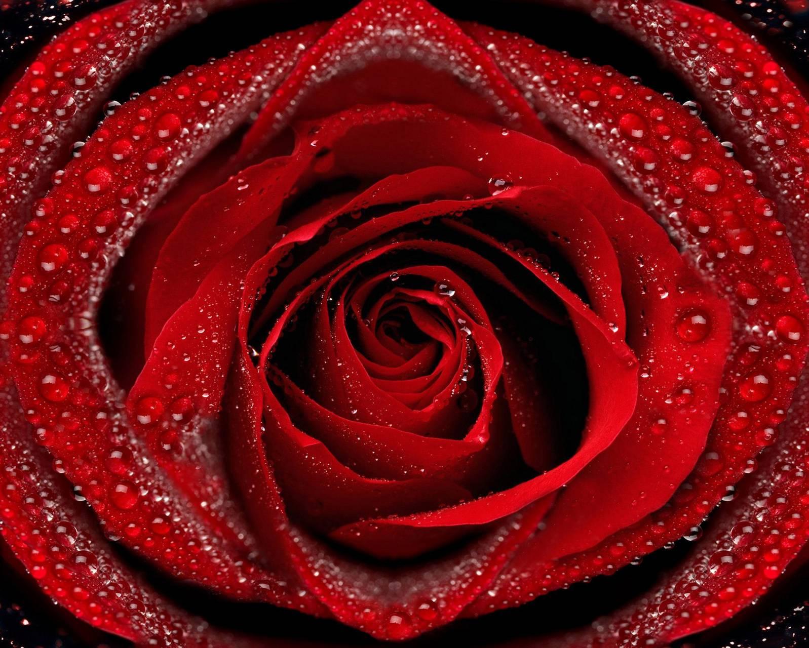 Drops Rose
