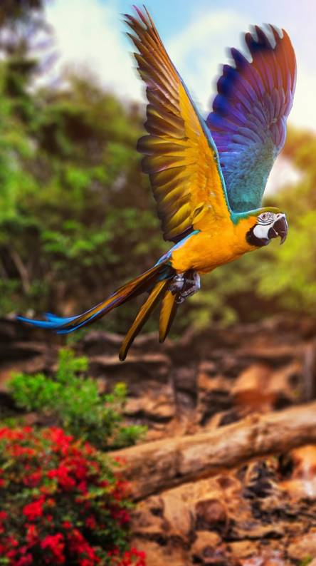 Macaw wallpapers. macaw
