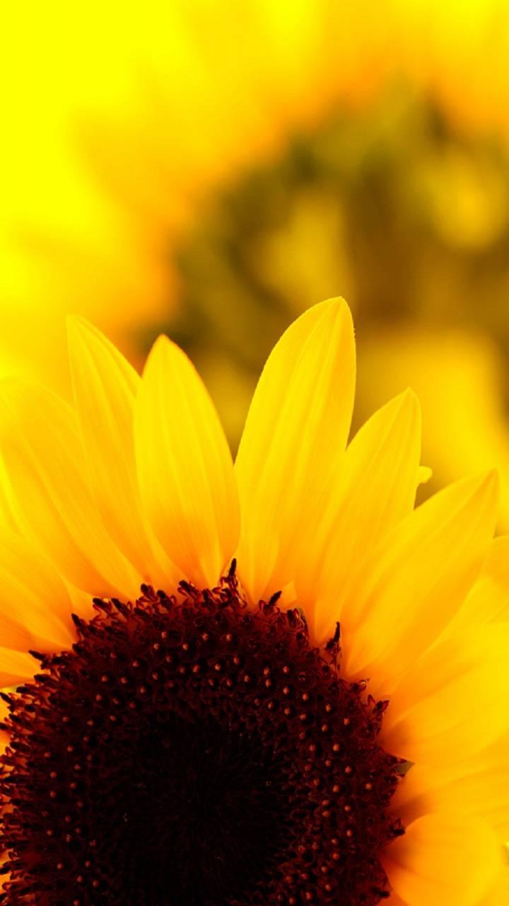 Sunflower wallpaper by rosemaria4111 - 6d - Free on ZEDGE™