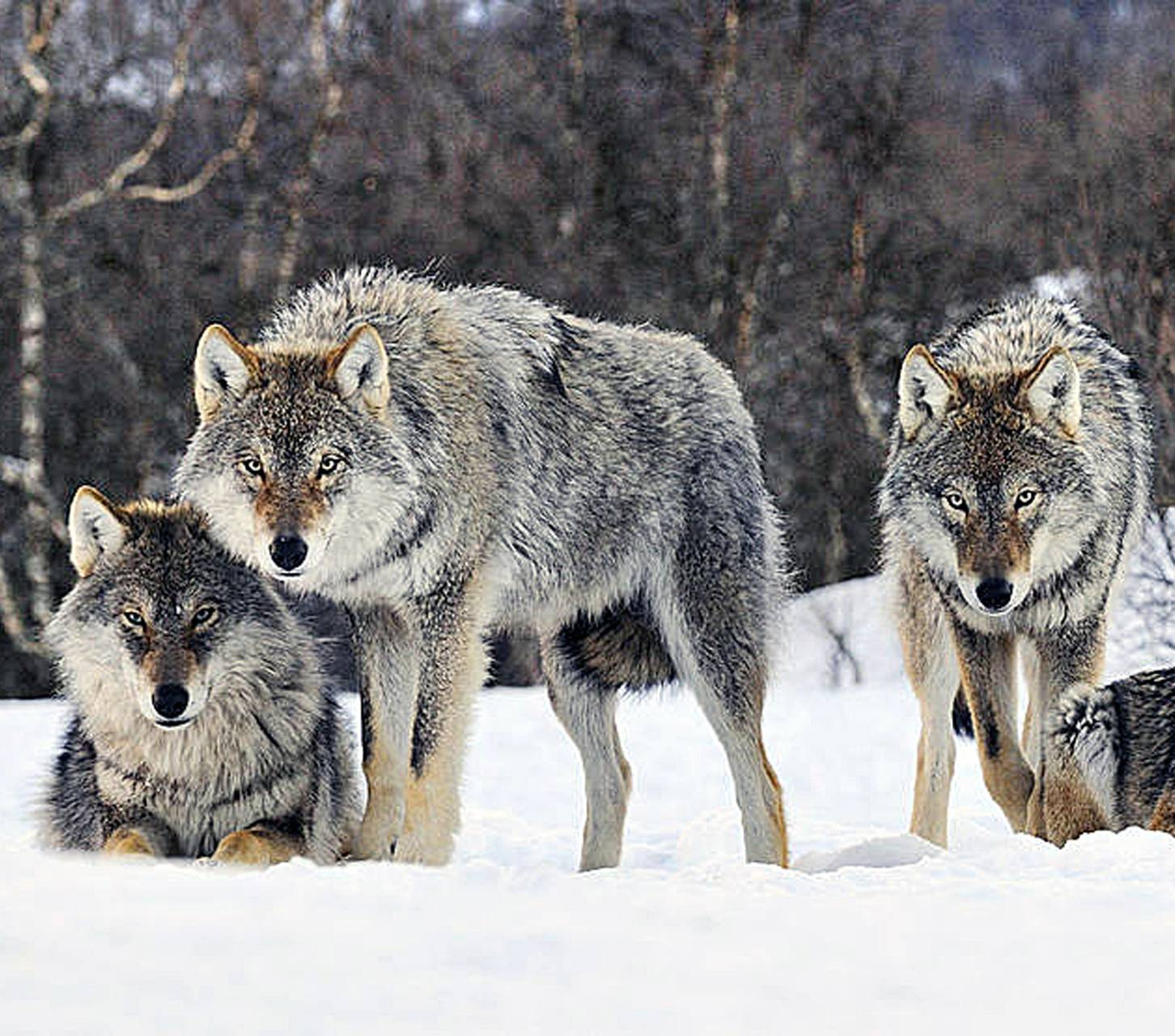 Winter Wolfs