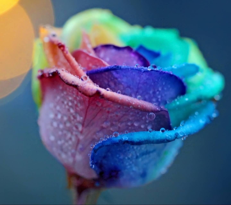 Colorful Rose